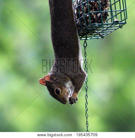 squirrel hanging from birdfeeder eating sunflower seeds