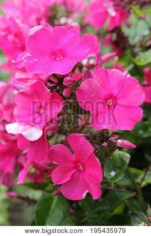распустившиеся красивые розовые цветы в саду в летний день