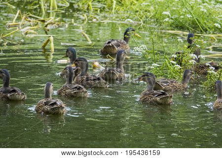 wild ducks - (Anas platyrhynchos) in nature