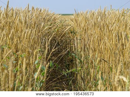 Mature Wheat On The Field. Spikelets Of Wheat. Harvest Of Grain.