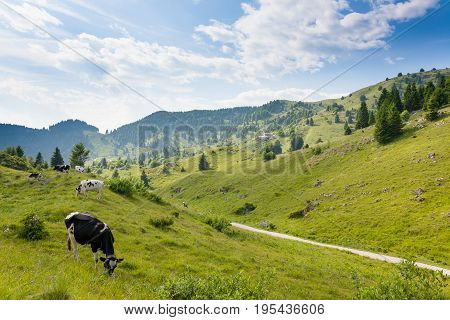 Herd Of Cows From Italian Alps