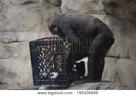 A baby gorilla playing with enrichment in the outdoors