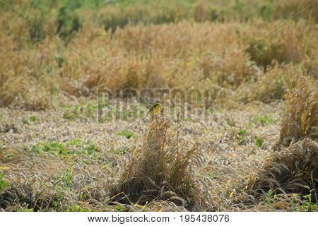 Tit On The Ears Of Wheat. A Bird With A Yellow Belly