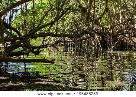 Traditional and dense tropical mangrove vegetation with its roots branches and leaves