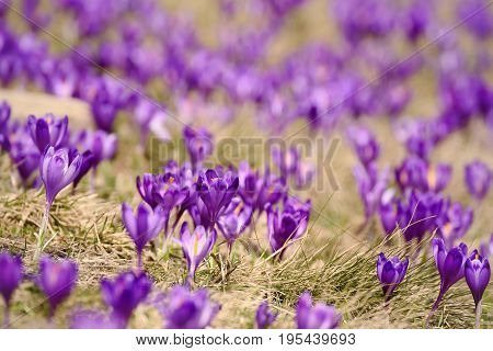 Beautiful violet crocuses flower growing on the dry grass, the first sign of spring. Seasonal easter background.