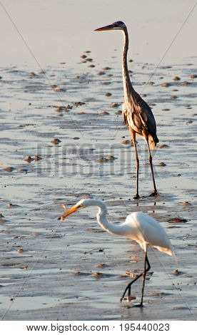 A photograph of both a brown heron and a white heron as they feed at low tide in Sarasota Florida.