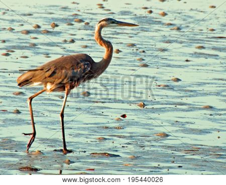A photograph of a brown heron as it feeds at low tide in Sarasota Florida.