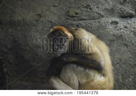 Close up of a spider monkey sitting on a rock