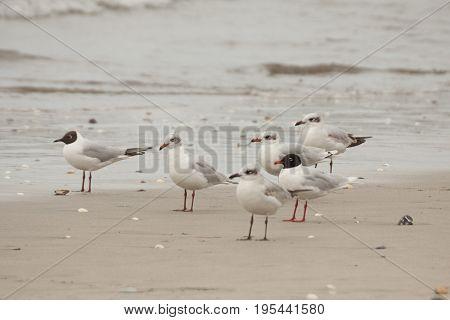 Mediterranian Gulls (Larus melanocephalus) standing on the beach during migration.