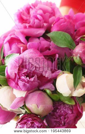 Beautiful peony flowers, closeup