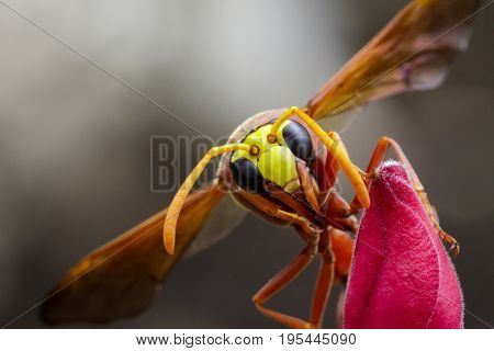 Image of potter wasp (Delta sp Eumeninae) on flower. Insect Animal