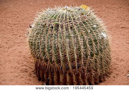 the cactus is round in shape with spikes