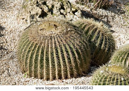 the cacti are round in shape with spikes