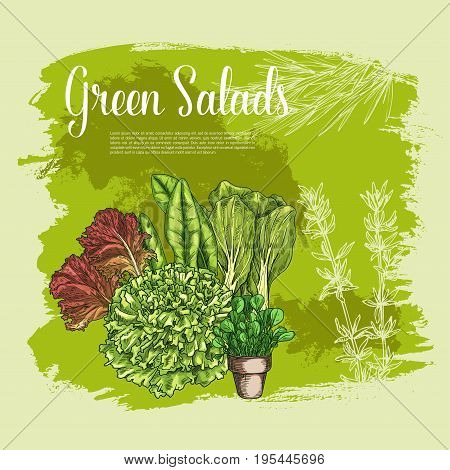 Salads and lettuces vector poster. Farm fresh leafy vegetables of gotukola and spinach or sorrel, arugula and oakleaf or corn salad, watercress with and swiss chard cabbage or chicory veggie harvest