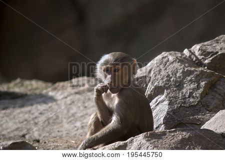 the young baboon is sitting and chewing food