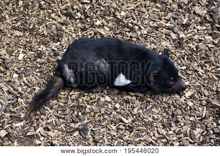 this is a close up of a Tasmanian devil resting