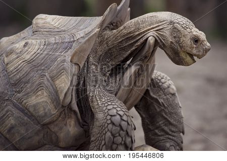 giant Galapagos turtle , close up