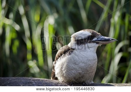this is a close up of a laughing kookaburra
