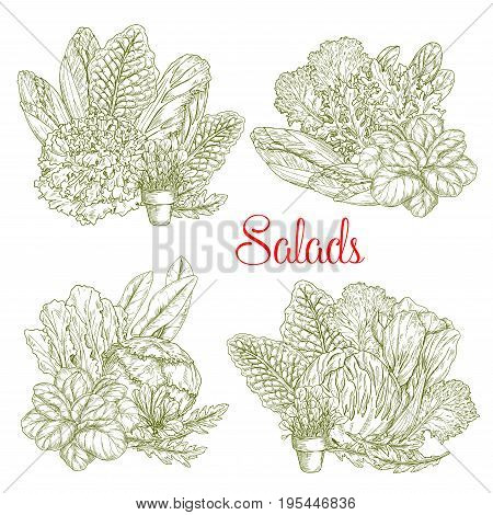 Lettuce salads vector sketch of chicory, watercress or sorrel and gotukola collard. Farm fresh leafy vegetables of oakleaf, arugula and iceberg or pak choi salad and romanesco or brussels sprouts