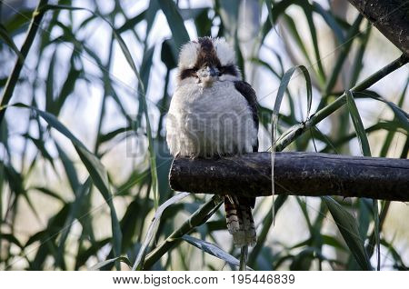 the laughing kookaburra is perched on a tree branch