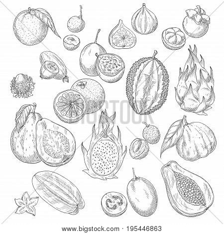 Exotic fruits sketch of papaya andmango, figs and avocado, passionfruit maracuya and carambola, durian and guava or feijoa, lichee, mangosteen or rambutan. Vector whole and cut slice fruits