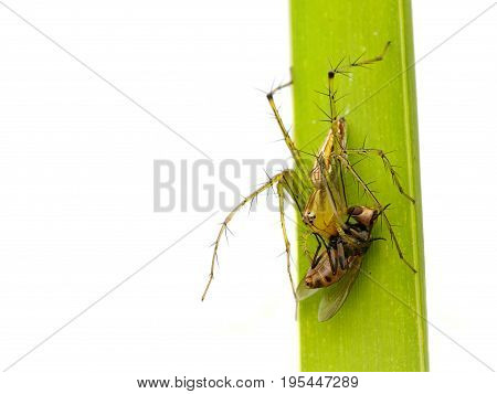 Image of oxyopidae spider going to eat fly on green leaves. Insect Animal (Java Lynx Spider / Oxyopes cf. Javanus)
