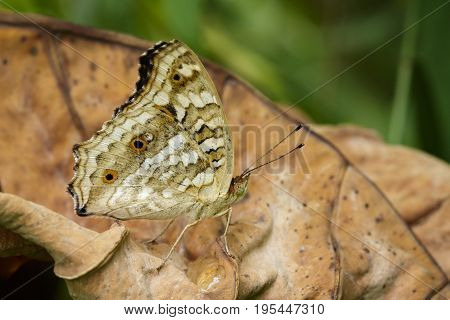 Image of brown butterfly (Satyridae)on dry leaves. Insect Animal