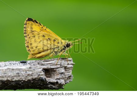 Image of common dartlet butterfly (Oriens gola Moore1877) on dry branches on nature background. Insect Animal