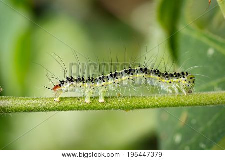 Image of Hairy caterpillar (Eupterote testacea) on green branches. Insect Animal
