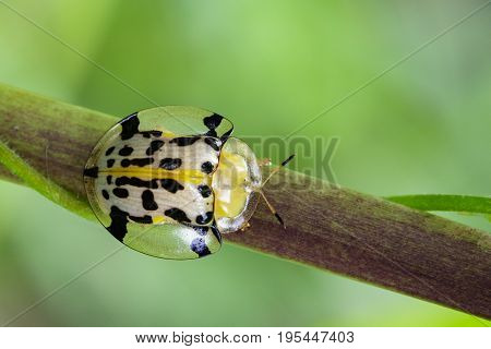 Image of Spotted Tortoise Beetle (Aspidomorpha millaris) on branches. Insect Animal