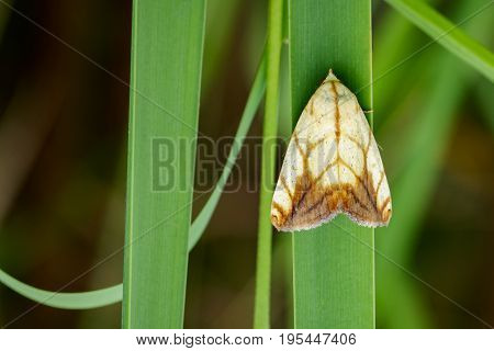 Image of Butterfly Moth (Lasiocampidae) on green leaves. Insect Animal