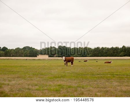 Cows In A Farmer's Field On An Overcast Day