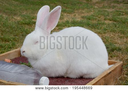 White Flemish Giant Rabbit resting on hot summer day with frozen bottle of water for heat relief