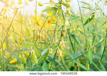sunhemp flower with sunlight in big farmland