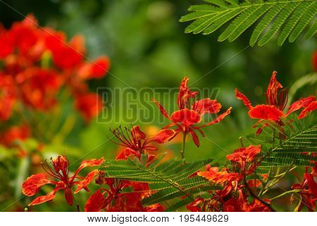 Vivid red flower of Flame Tree Hang-Nok-Yung