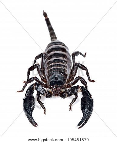 Scorpion Isolated On The White Background
