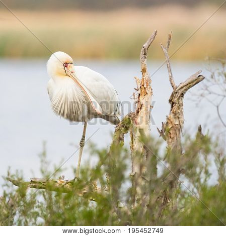 A Yellow-Billed Spoonbill (Platalea regia) perched on a tree at Herdsman Lake in Perth, Western Australia.