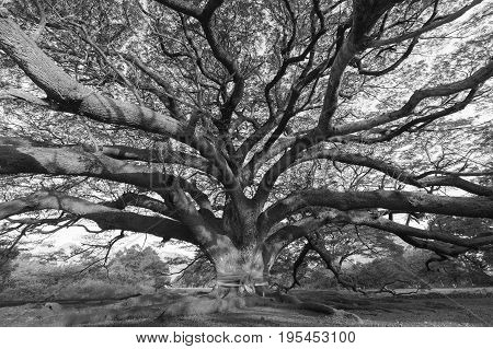 Black and White Giant tree on ground Natural abstract background