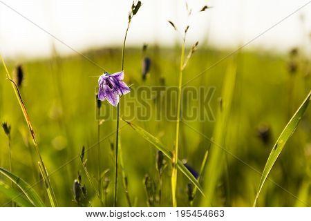 Purple bellflower hidden in green grass. Blurry meadow background.