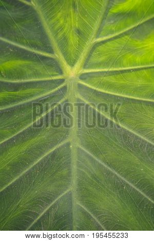fresh colocasia esculenta leaves texture in nature garden