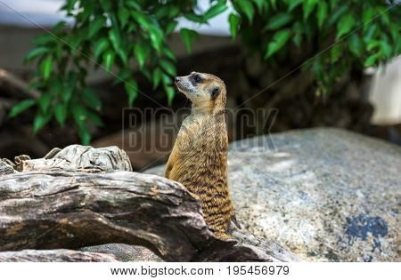 Meerkat sitting on a log.Meerkat animals. in the zoo