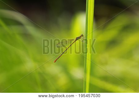 The Damselfly, Agriocnemis femina  dragonfly in outdoor