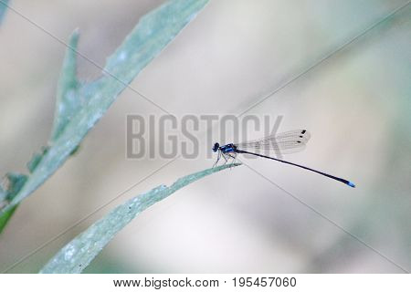 Damselfly, Coeliccia didyma didyma  dragonfly in outdoor