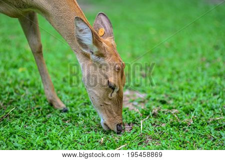 Antelope in the grasslands.And antelope eating grass.