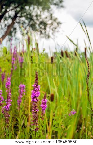 Closeup of flowering purple loosestrife or Lythrum salicaria in its own natural habitat between broadleaf cattail or Typha latifolia on a cloudy day in the beginning of the Dutch summer season.