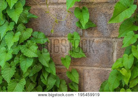 Green Leaf Wall For Background.