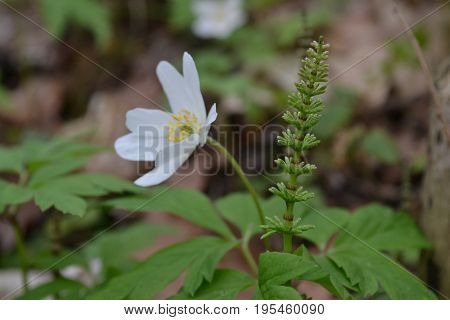 Green horsetail on a white summer flower background in a park