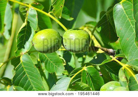 Fresh green walnuts on a walnut tree. Walnut tree full with a fruits of walnut