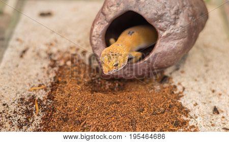 Leopard Gecko (eublepharis Macularius) Lizard On Sand