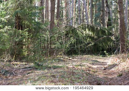 Thick of pine forest with fallen mossy trees